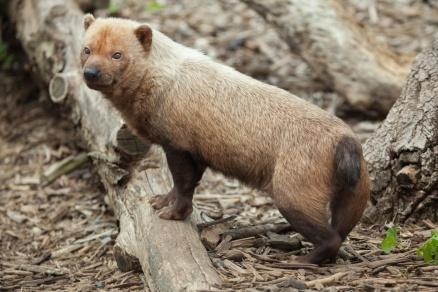 Bush dog (Speothos venaticus). Wildlife animal.