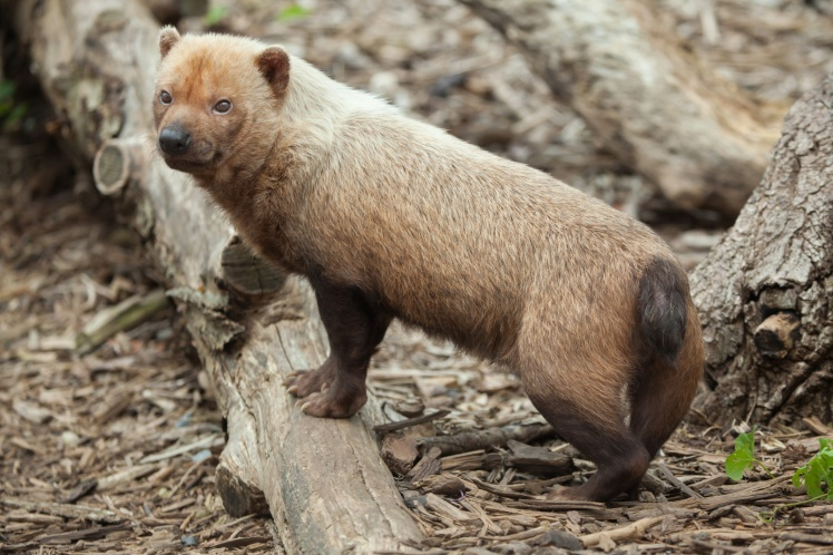 Bush dog (Speothos venaticus). Wildlife animal.