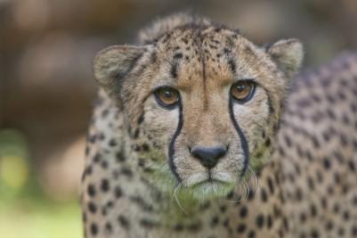 guepard-credit-photo-arthus-boutin-1-reduit