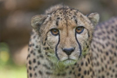 guepard-credit-photo-arthus-boutin-1-reduit